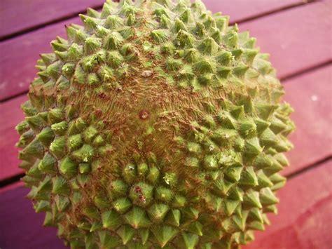Benih Durian Musang King Untuk Dijual mengenali durian musang king supaya anda tidak tertipu