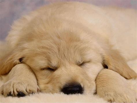 pup animal babies pets and animals images sleepy puppy wallpaper photos 16771679