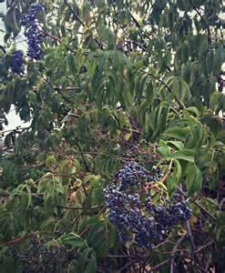 foraging for elderberries