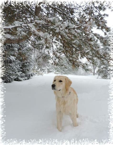 k9 comfort dogs pin by susan h on precious comfort therapy dogs pinterest
