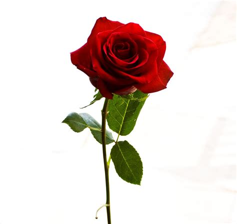 imagenes de rosas solas javier viveros la rosa