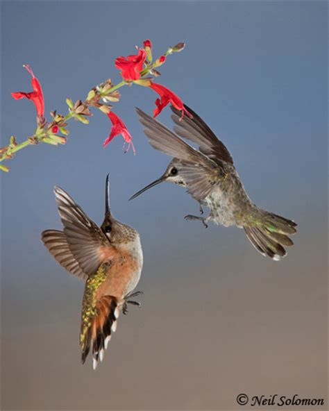 neil solomon hummingbird photography workshops