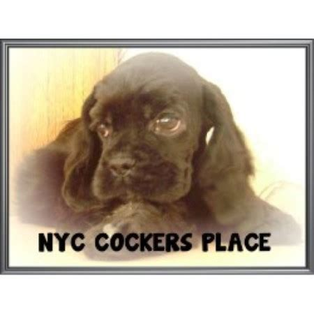 free puppies staten island nyc cockers place american cocker spaniel breeder in staten island new york