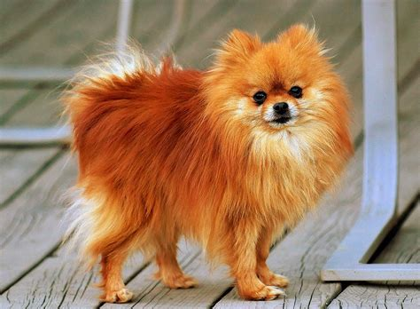 pomeranian in small dogs that stay small list of small breeds