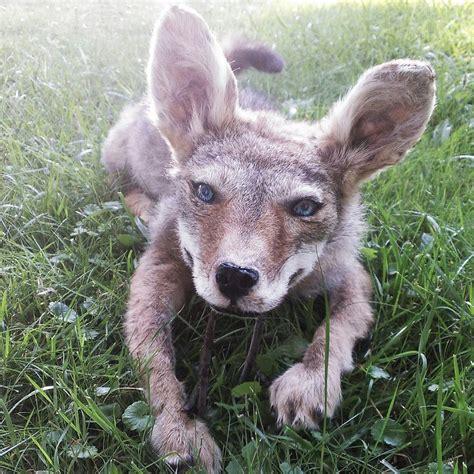 coyote puppy coyote puppy soft mount by psychische on deviantart