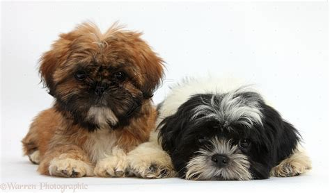 black brown and white shih tzu puppies brown www pixshark images galleries with a bite
