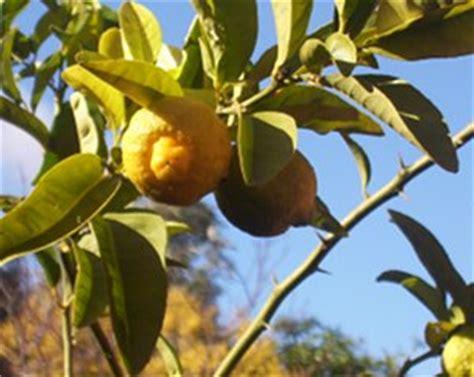Comment Avoir Des Citrons Sur Un Citronnier by Citronnier Qui Perd Ses Fruits Aussit 244 T La Floraison Finie