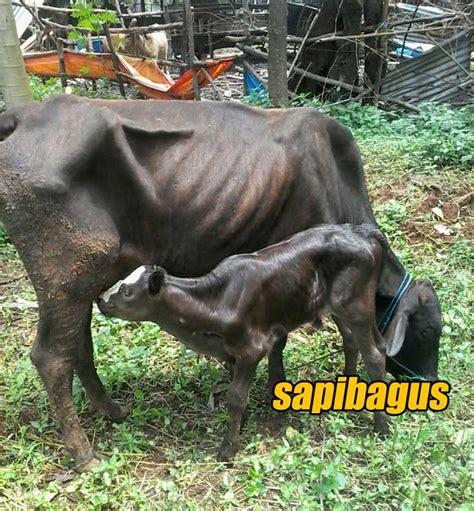 Bibit Sapi Jenis penyebab dan pencegahan terjadi milk fever pada sapi indukan sapibagus