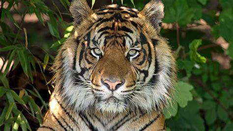 minicuentos de tigres y la imponente de los tigres de sumatra nexofin