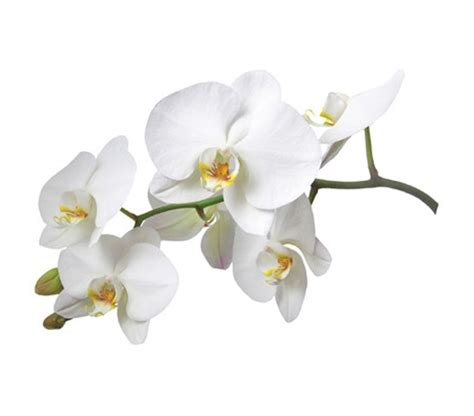 Jw Wallpaper Sticker Gold Flowers white orchid flower wall peel n stick college wall