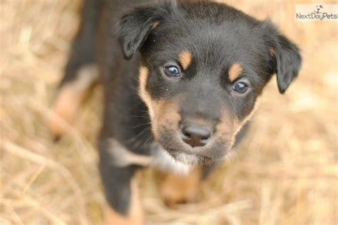 australian kelpie puppies for sale australian kelpie puppy for sale near portland oregon 32ab22ee 6771