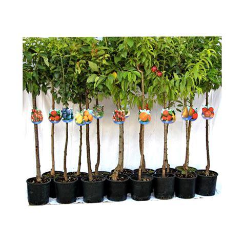 piante da frutta in vaso pianta da frutto vaso 20 floricoltura magnani di magnani