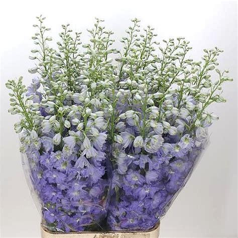 Blue White Dewi Top delphinium dewi impressive 105cm wholesale flowers