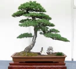 bonsai le myth buster 9 bonsai plants are auspicious sana ako si