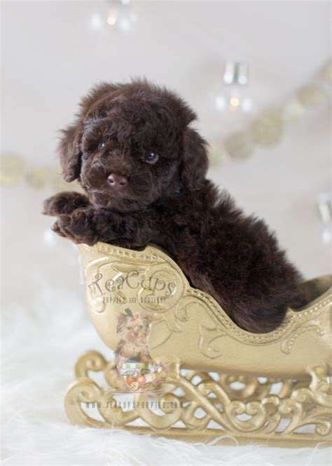 chocolate poodle puppies for sale teacup and poodle puppies teacups puppies boutique