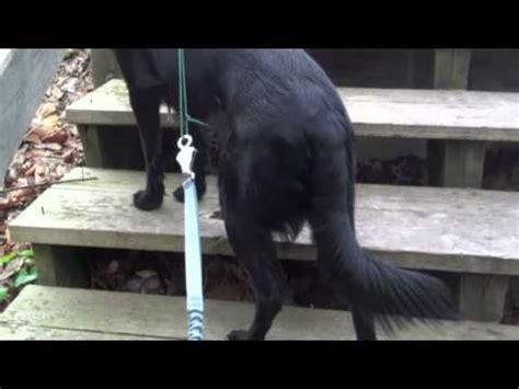 adopt a buddy pug rescue nj labrador retriever beagle mixed breed ajax has better balance great