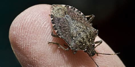 stink bugs in house stink bugs on the rise in the u s huffpost