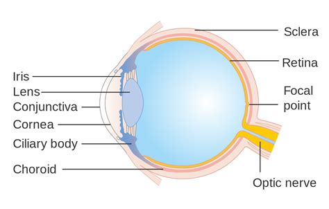parts of the diagram file diagram showing the parts of the eye cruk 326 svg