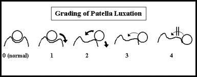 luxating patella in pugs chinaroad lowchens of australia medially luxating patella