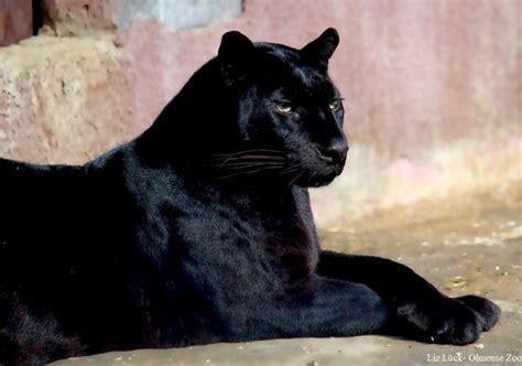 Kaos Black Panther 2 F 024 schwarzer panther fotos bilder auf fotocommunity