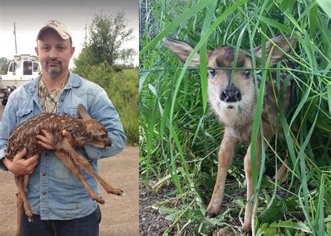 driving after a caesarean section passerby performs roadside c section to save fawn s life