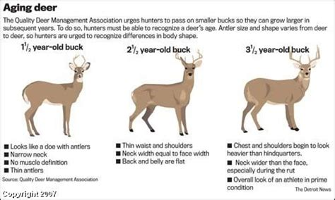 2 graphics to help you age a buck from your treestand