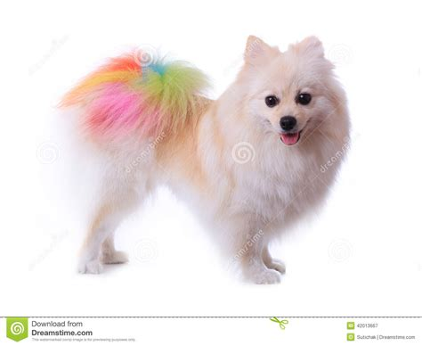 pomeranian puppy grooming white pomeranian grooming colorful stock photo image 42013667