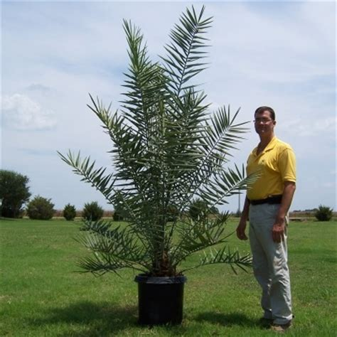 Wholesale Fruit Trees - glen flora farms texas wholesale trees plants list date palm phoenix dactylifera