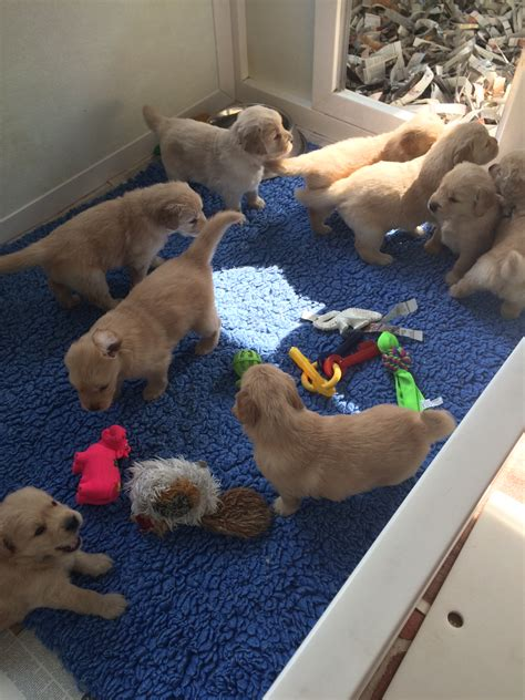 goodtime golden retrievers puppies goodtime golden retrievers