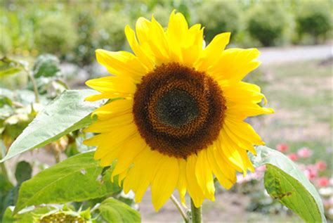 what is the scientific name of what is the scientific name for sunflower