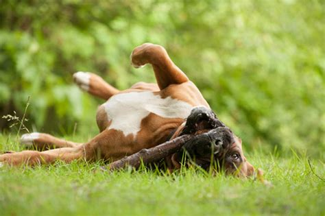why do dogs roll in stinky stuff why dogs roll in smelly stuff nuvet labs