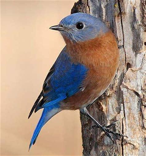 17 best ideas about bluebirds on pinterest blue bird