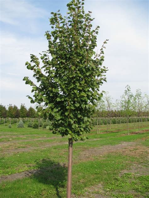 cherry tree b b killarney tilia cordata greenspire leaf linden cherry