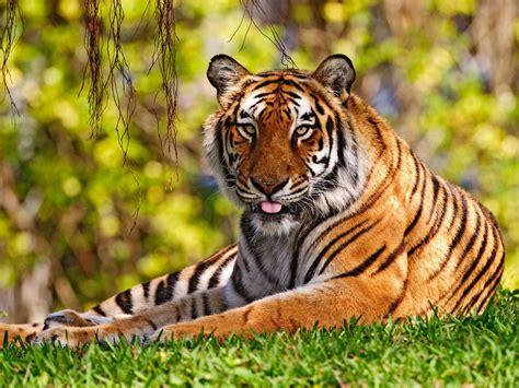 fotos animales tigres fonditos el tigre animales tigres mascotas felinos
