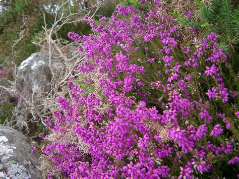 free stock photo of colorful bush of magenta heather photoeverywhere