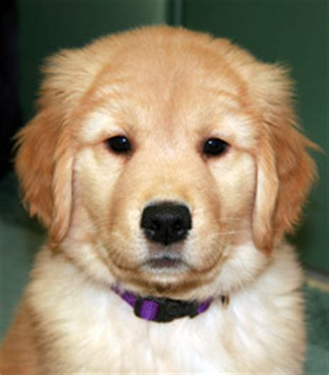 nj golden retriever breeder golden retriever puppies nj dogs in our photo