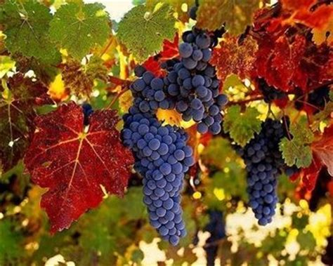 uva da tavola italia variet 224 uva da tavola uva uva da tavola variet 224