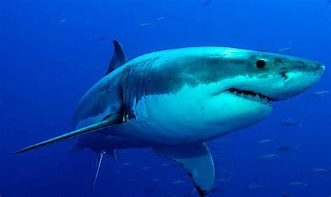 libro the shark in the acariciando al gran tibur 243 n blanco supergracioso