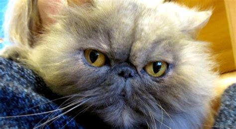 regalo gatti persiani gatti persiani in adozione a roma minou e lilli