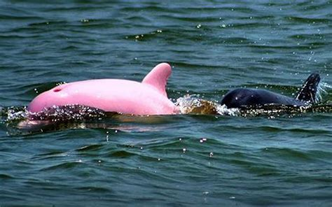 what color is a dolphin why are pink dolphins pink