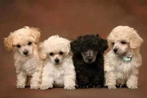 bullhuahua puppies for sale teacup poodle puppies for sale dogable