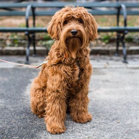 goldendoodle central ny 25 best ideas about australian labradoodle on