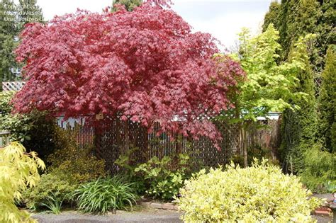plantfiles pictures japanese maple suminagashi acer palmatum by tafhar