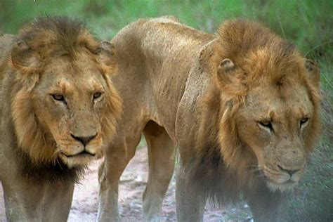 facts  lions animals blog