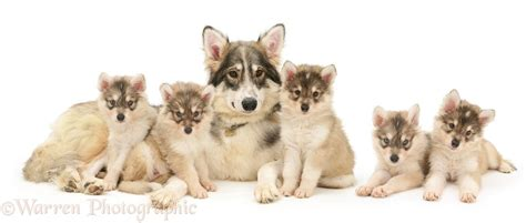 with puppies dogs utonagan with five puppies photo wp14562