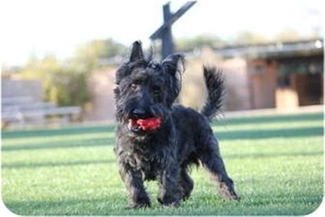 yorkie rescue scottsdale az buddy adopted scottsdale az scottie scottish terrier yorkie