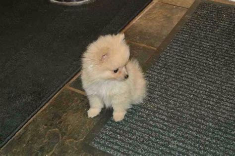 adopt a teacup pomeranian teacup pomeranian for sale with price and from breeders