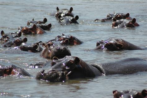 what color are hippos treknature hippos photo