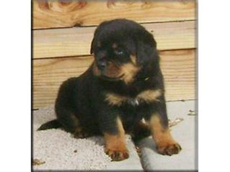 rottweiler puppies montreal well trained rottweiler puppies for sale