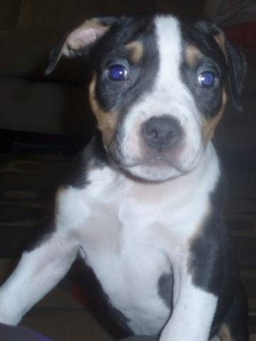 pitbull terrier puppies for adoption pin pitbull terrier puppies for adoption on